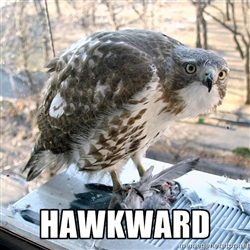 Oh, so very hawkward.